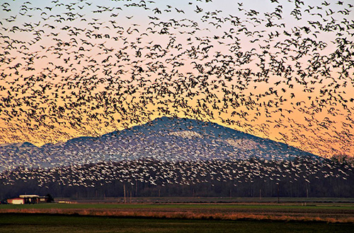 Snow_Geese_Headridge
