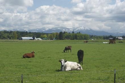 Cows.PhilipEichner